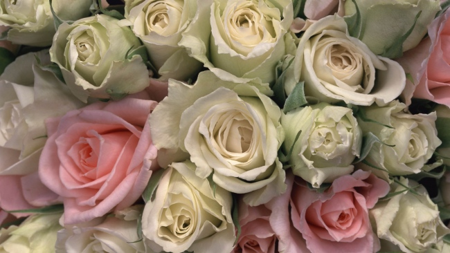hd hintergrundbilder rosen blütenblätter rosa weiß knospen zart