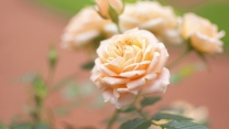 rose rosa weich verwischen bokeh