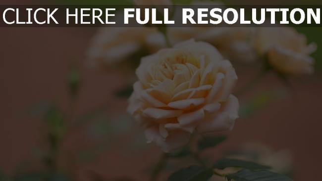 hd hintergrundbilder rose rosa weich verwischen bokeh