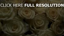 weiße rosen blüten blüten knospen viele