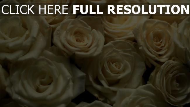 hd hintergrundbilder weiße rosen blüten blüten knospen viele
