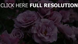 rosen blühen rosa blüten knospen sommer