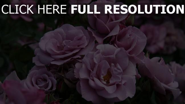 hd hintergrundbilder rosen blühen rosa blüten knospen sommer