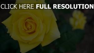 gelbe blütenblätter rose zoom verwischen