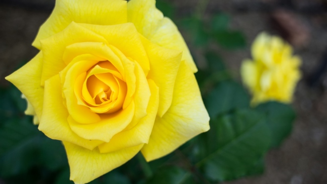 hd hintergrundbilder gelbe blütenblätter rose zoom verwischen
