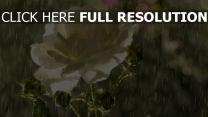 regen rose weißen blütenblätter tropfen knospen