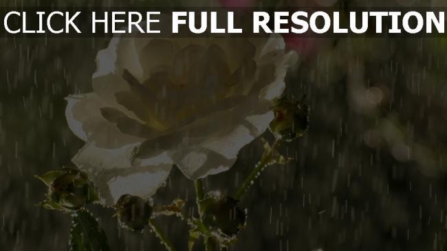 hd hintergrundbilder regen rose weißen blütenblätter tropfen knospen