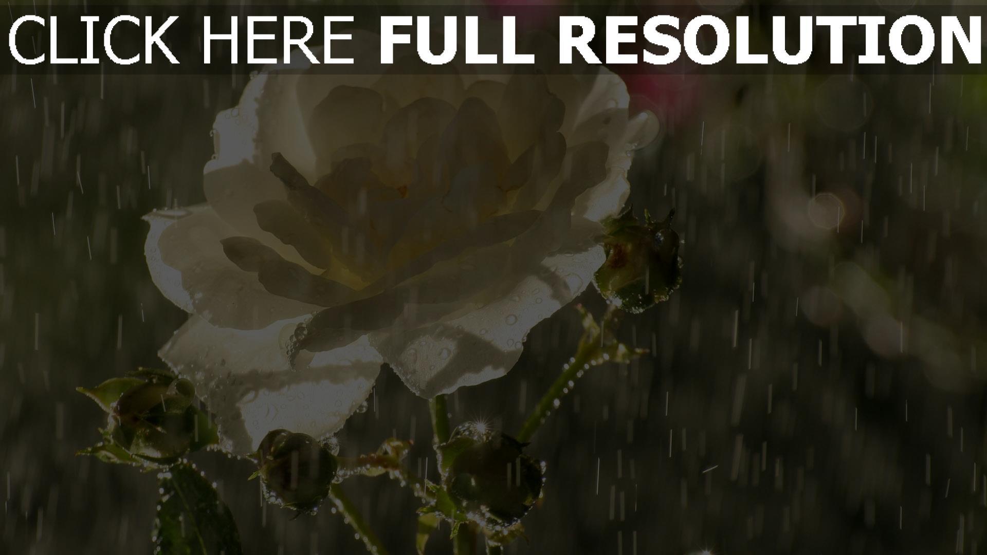 hd hintergrundbilder regen rose weißen blütenblätter tropfen knospen 1920x1080