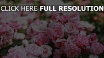 rosen blühen garten zweige blüten sommer