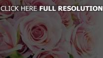 rosen zarte rosa pastell tautropfen feuchtigkeit
