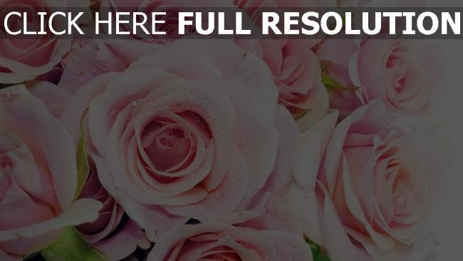 hd hintergrundbilder rosen zarte rosa pastell tautropfen feuchtigkeit
