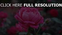 rose garten blütenknospen rosenblüten unschärfe
