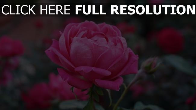 hd hintergrundbilder rose garten blütenknospen rosenblüten unschärfe