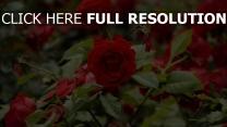 rosen knospen blätter garten blühende strauch