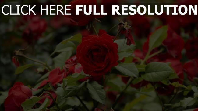 hd hintergrundbilder rosen knospen blätter garten blühende strauch