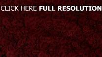 rote rosen blühen viele blumen blüten