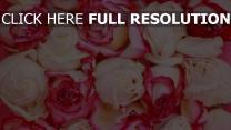 rose rosa knospe pastell blütenblätter