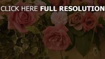 rosen rosa blätter blüten nelke