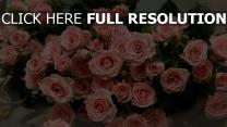 rosa rosen blumen blüten blütenblätter