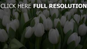 tulpen weiß schön frühling pflanzen