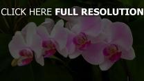 orchidee rosa zweig grün blätter