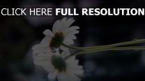 gerbera weiß reflexion blur stengel