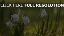 schneeglöckchen weiß gras sonne frühling