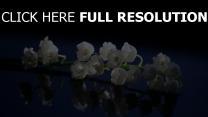 maiglöckchen weiß stengel reflexion hintergrund blau