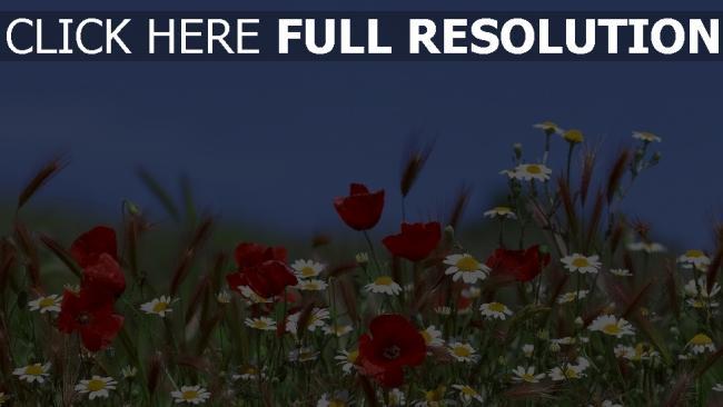 hd hintergrundbilder wildblumen blumen mohn margeriten himmel