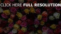 rosen bunt viele hell