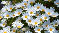 gänseblümchen weiß viele wiese sommer