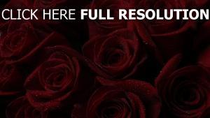 rosen rot blütenblätter knospen tropfen