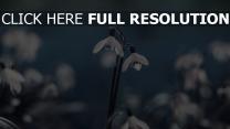 schneeglöckchen weiß stengel zärtlich