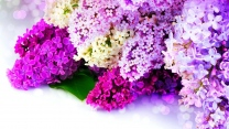 flieder lila weiß funkelnde