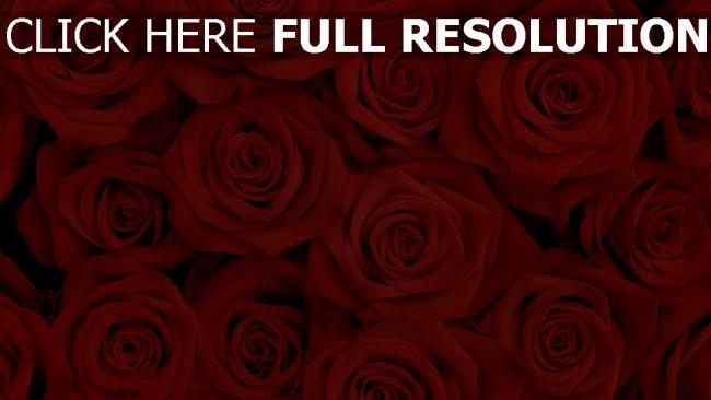 hd hintergrundbilder rosen rote viele knospen