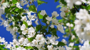 blüten weiß blätter frühling blütenblätter
