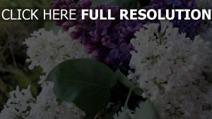 lila weiß lila blütenstand feder