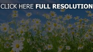 gänseblümchen gras himmel blau blütenblätter