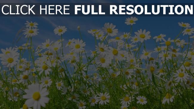 hd hintergrundbilder gänseblümchen gras himmel blau blütenblätter