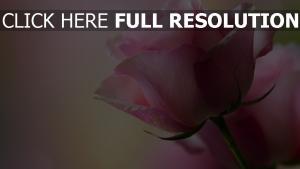 rose rosa empfindlich blumenblätter rosa hintergrund