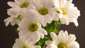 gerbera gänseblümchen weiß blütenblätter zart