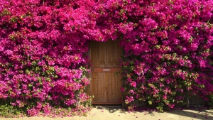 bougainvillea sträucher blühen rosa tür