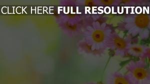 gänseblümchen rosa blütenblätter zart licht hintergrund