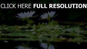wasserlilien zwei weiß teich blätter