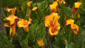 calla-lilien gelb blätter viele blütenblätter