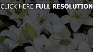 lilie weiß knospen blüten viel