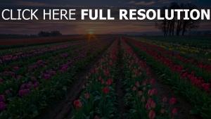 tulpen knospen bunt set sonnenuntergang