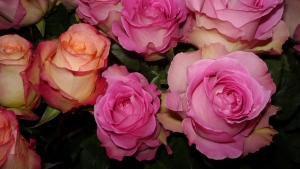 rose rosa korallen knospen schön