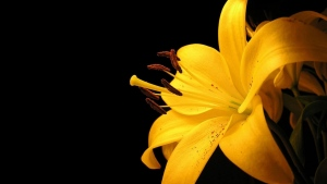 lilie gelb blumenblätter dunkel hintergrund
