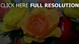 rosen gelb orange bunt blütenblätter